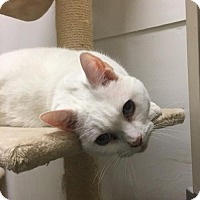 Adopt A Pet :: Snowball - San Jose, CA