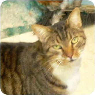 Domestic Shorthair Cat for adoption in Putnam Valley, New York - Brett