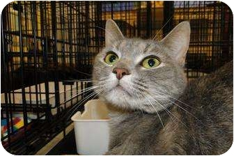 Domestic Shorthair Cat for adoption in Harrisburg, North Carolina - Silly Kitty