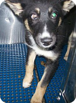 Husky Mix Puppy for adoption in Albert Lea, Minnesota - Dillard