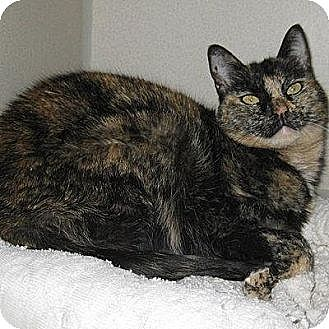 Domestic Shorthair Cat for adoption in Denver, Colorado - Mici