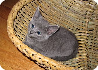 "American Shorthair Kitten for adoption in Harrisburg, North Carolina - T. C. ""Tiny Cat"""