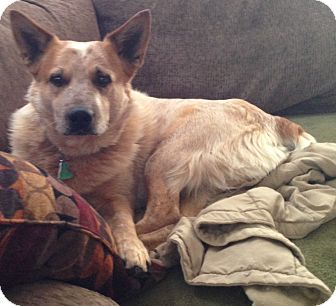 Australian Cattle Dog Mix Dog for adoption in Broomfield, Colorado - Oreh