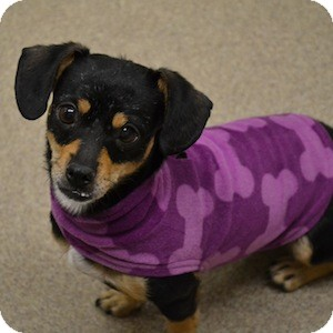 Dachshund/Chihuahua Mix Dog for adoption in Gilbert, Arizona - Aspen