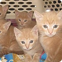 Adopt A Pet :: Caramel - Dallas, TX
