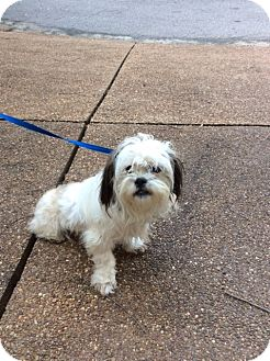 shih tzu puppies tennessee memphis tn shih tzu mix meet bumble a dog for adoption 9844
