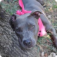 Adopt A Pet :: Topaz - Burleson, TX