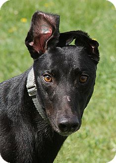 Greyhound Dog Rescue Portland Oregon