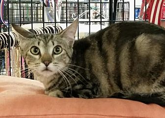 Bengal Cat for adoption in Knoxville, Tennessee - Victor & Victoria
