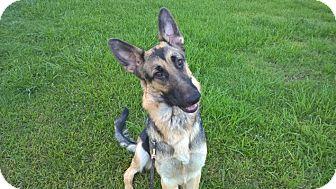German Shepherd Dog Puppy for adoption in Houston, Texas - Angelique - Adoption Pending