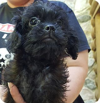 Pug/Poodle (Miniature) Mix Puppy for adoption in Antioch, Illinois - Parfait - ADOPTED!!