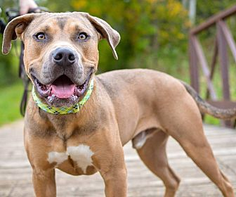 Shepherd (Unknown Type)/Pit Bull Terrier Mix Dog for adoption in Minneapolis, Minnesota - Rex