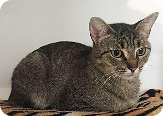 Domestic Shorthair Cat for adoption in Colorado Springs, Colorado - Springs