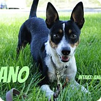 Rat Terrier Mix Dog for adoption in Hamilton, Ontario - Beano