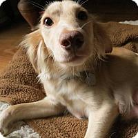 Cocker Spaniel/Chihuahua Mix Dog for adoption in Austin, Texas - Maple