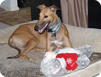 Greyhound Puppy for adoption in Tucson, Arizona - June
