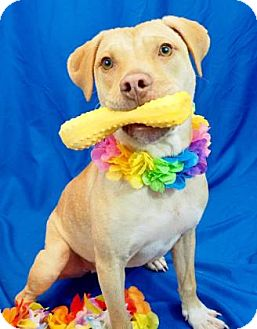 Pit Bull Terrier Mix Dog for adoption in New Orleans, Louisiana - Sam