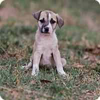 Adopt A Pet :: Scout $250 - Seneca, SC