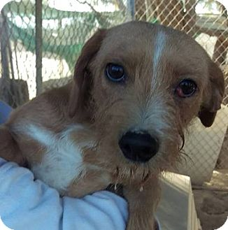 Terrier (Unknown Type, Small) Mix Dog for adoption in Las Vegas, Nevada - Sharkie