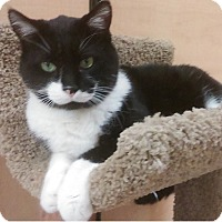 Domestic Shorthair Cat for adoption in Naperville, Illinois - Higgins-BIG TUXEDO BOY!