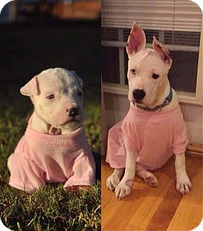 Pit Bull Terrier/Terrier (Unknown Type, Medium) Mix Dog for adoption in Anderson, South Carolina - Lilith - DEAF