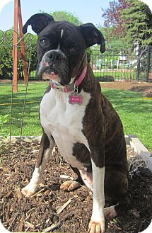 Boxer Dog for adoption in Oswego, Illinois - Rosie