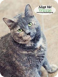 Domestic Shorthair Cat for adoption in West Des Moines, Iowa - Winnie