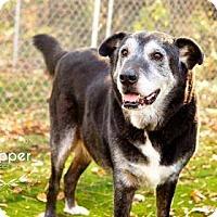 Labrador Retriever/Newfoundland Mix Dog for adoption in Eldora, Iowa - Pepper/Adopted