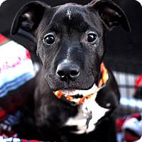 Adopt A Pet :: Tripp-Adopted! - Detroit, MI
