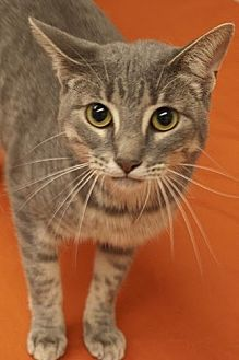 Domestic Mediumhair Cat for adoption in Baton Rouge, Louisiana - Susan