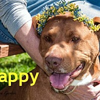 American Pit Bull Terrier Mix Dog for adoption in Hamilton, Montana - Cappy