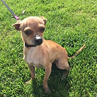 Chihuahua Dog for adoption in Fresno, California - Scarlina