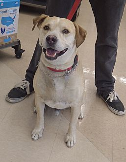 American Pit Bull Terrier/Labrador Retriever Mix Dog for adoption in Quail Valley, California - Muttley