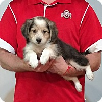 Adopt A Pet :: Captain - Gahanna, OH