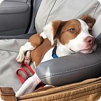 Adopt A Pet :: Bennett - Humble, TX