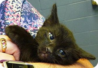 Domestic Shorthair Kitten for adoption in Zanesville, Ohio - 47300 Manchu (look like a black tabby)