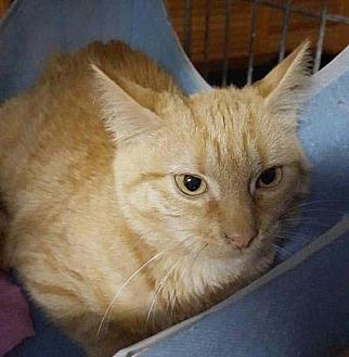 American Shorthair Cat for adoption in New York, New York - Pipps