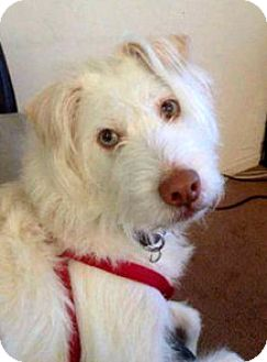 Husky/Wheaten Terrier Mix Dog for adoption in Staten Island, New York - Lazzy