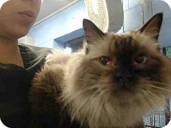 Ragdoll Cat for adoption in San Bernardino, California - URGENT NOW (San Bernardino)