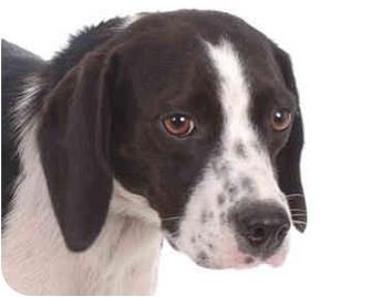 ... | Adopted Dog | Cincinnati, OH | English Springer Spaniel/Beagle Mix