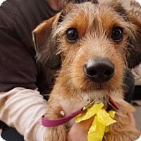 Adopt A Pet :: Butternut - Brooklyn, NY