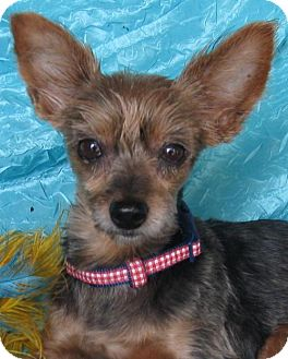 Yorkie, Yorkshire Terrier Dog for adoption in Cuba, New York - Sophie Yorkie