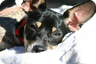 Manchester Terrier/Miniature Pinscher Mix Dog for adoption in Eastsound, Washington - Julian