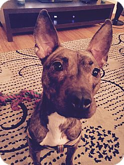 American Staffordshire Terrier Mix Dog for adoption in Cherry Hill, New Jersey - Hazel