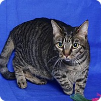 Domestic Shorthair Cat for adoption in Gloucester, Virginia - AZURA