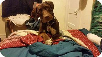Cane Corso/Labrador Retriever Mix Dog for adoption in Baltimore, Maryland - Roxy (COURTESY POST)