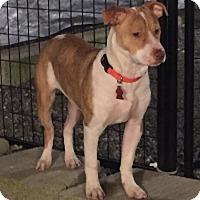 American Staffordshire Terrier/Terrier (Unknown Type, Medium) Mix Puppy for adoption in Auburn, Washington - Dante