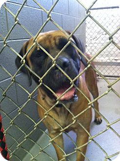 English Mastiff Dog for adoption in Fort Riley, Kansas - Porshe