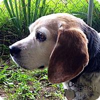 Adopt A Pet :: Obie-Wan - Cape Girardeau, MO