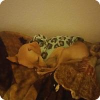 Adopt A Pet :: Nala - Henderson, NV